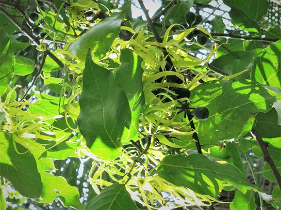 ילנג ילנג קסם צמחים